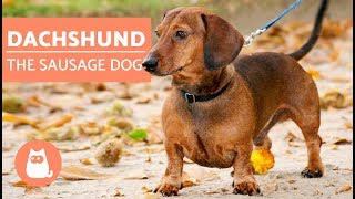 DACHSHUND - The Sausage Dog