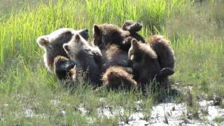 Silver Salmon Creek Alaska brown bear cubs