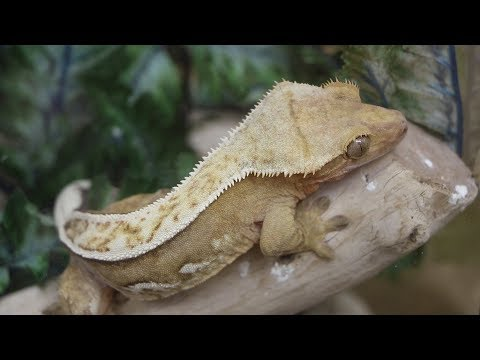 How To Buy Your First Crested Gecko! Mp3