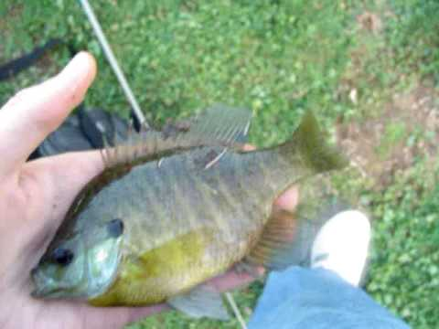bluegill fishing at brushy creek mud pond
