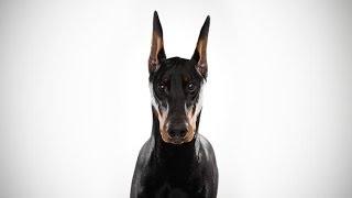 Doberman Pinscher: Advanced Dog Obedience Training