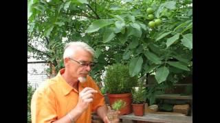 Розмарин: выращивание и уход