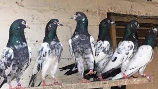 kabootar bazi in karachi - 免费在线视频最佳电影电视节目 - Viveos Net