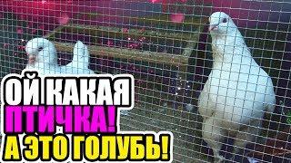"""Картинки по запросу выставка голубей и декоративных птиц """"Любовь и голуби"""". в одессе"""