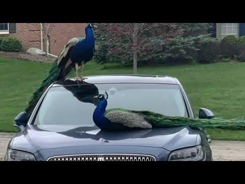 Neighborhood peacocks killed in Rochester Hills