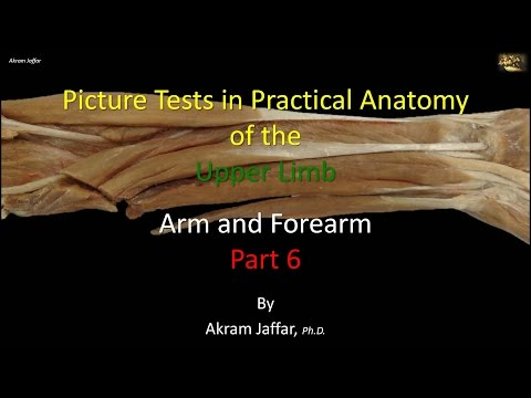 Picture tests in anatomy arm and forearm 6