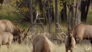 Locking Antlers – Elk on the C M Russell Wildlife Refuge