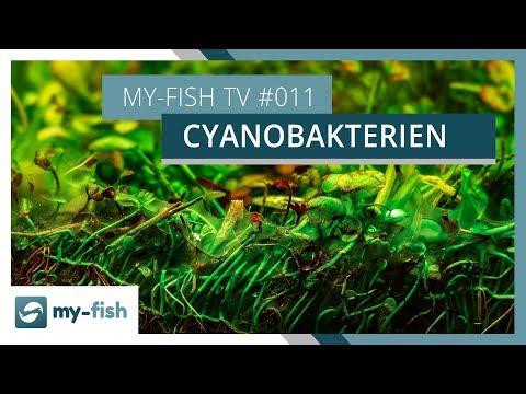 Blaualgen im Aquarium | Wie du wirksam Cyanobakterien bekämpfst | my-fish TV