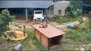Tiger Cam 1