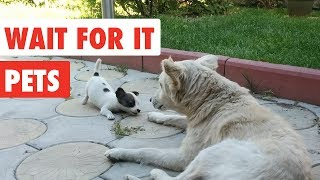 Wait For it Pets   Funny Pet Video Compilation 2017   The Pet Collective