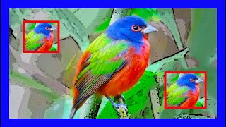 Azulillo Sietecolores Canto - Painted Bunting Bird Song - Passerina Ciris