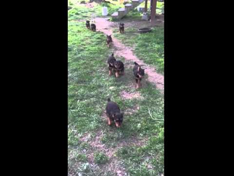 Airedale pups ready in May