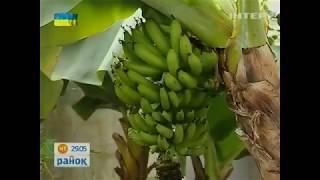 Київський сорт бананів плодоносить у квартирах