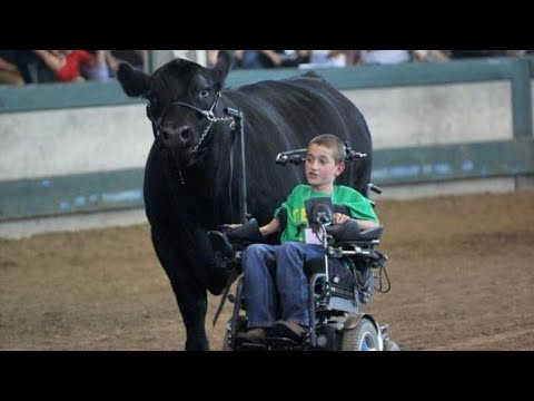 'Cow whisperer' boy in wheelchair leads steer, melts hearts