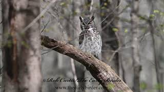 GREAT HORNED OWL, Bubo virginianus   3018652