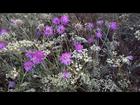 Цветет бессмертник. Полевые цветы июнь июль .