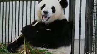 大熊貓「漢媛」10 歲了,生日快樂!