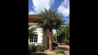 Phoenix sylvestris 'Robusta' / Robust Silver Date Palm
