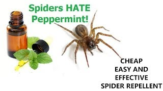 Cheap, Easy, and Effective Spider Repellent!