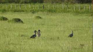 preview picture of video 'Bandurria Mora (Theristicus caerulescens) en Chajarí'