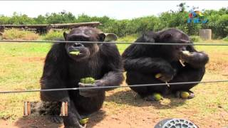 Chimpanzees feeding time at Sweetwater sanctuary