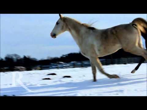 Shagya Araber im Schnee