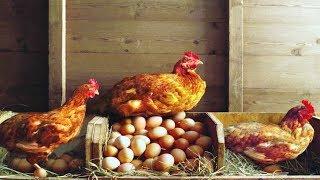 Как поймать курицу в курятнике