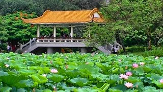 Video : China : Lotus pond, HongHu Park 红湖公园, ShenZhen 深圳