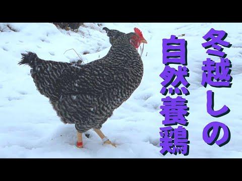 , title : '冬越しの自然養鶏