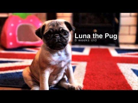 Pug puppy playing