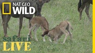 Safari Live - Day 72 | Nat Geo WILD