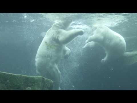 Epic Battle Between Polar Bears Underwater