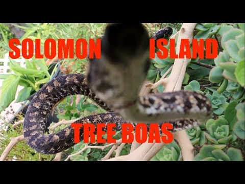 SOLOMON ISLAND TREE BOAS