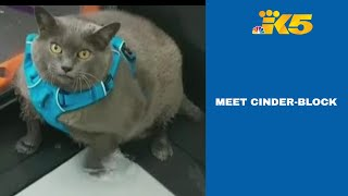 Fat Cat Named Cinder-Block Who Broke The Internet With Workout Routine Lives In Bellingham