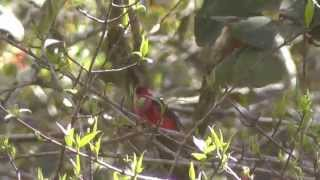 preview picture of video 'Pink-headed Warbler;  Ergaticus (Cardellina) versicolor'