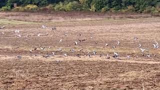 Tauben in den Feldern von Hackenheim Rheinhessen