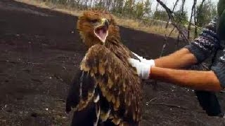 Imperial Eagle Returned Back to the Wild