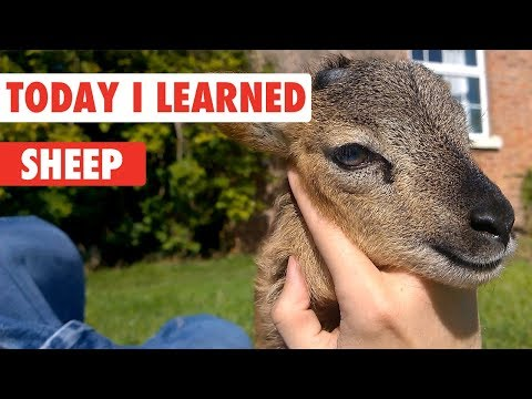 Today I Learned: Sheep