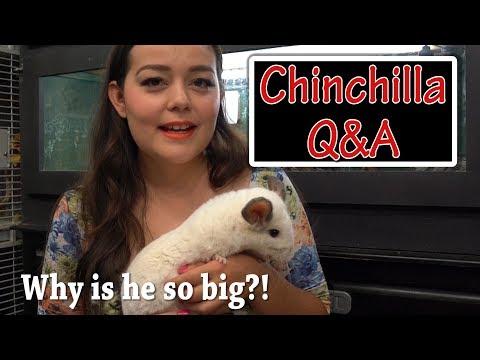 Chinchilla Q&A