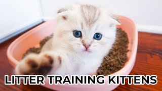 HOW TO LITTER TRAIN KITTENS FROM 4 WEEKS OLD Featuring Scottish Fold & Scottish Straight Kittens