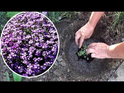 Обриета из семян . Как сажать обриету в открытый грунт