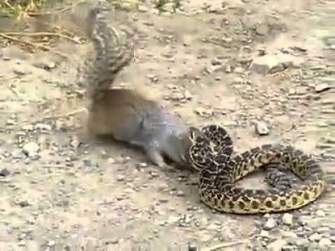 Cuộc chiến giữa sóc và rắn