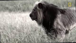 Смотреть онлайн Дикая природа: африканские львы-людоеды