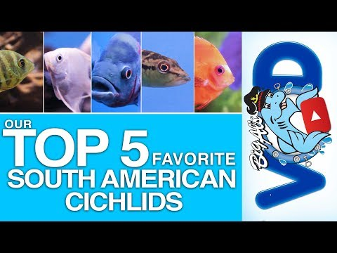 Our 5 Favorite South American Cichlids (Video)