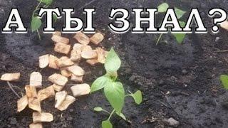 Перец - высаживаем рассаду видео