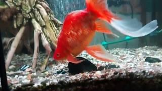 комета золотая рыбка аквариумная кормление комет и сомиков