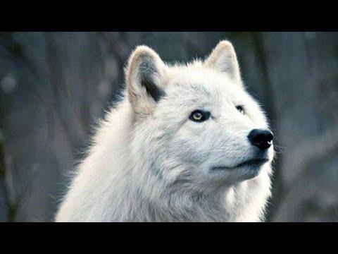 Random Live about wolfs