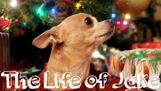 Meet My Chihuahua | The Life Of Jake