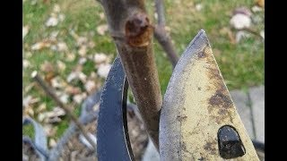 Pruning CONTAINER Fig Trees: The Basics