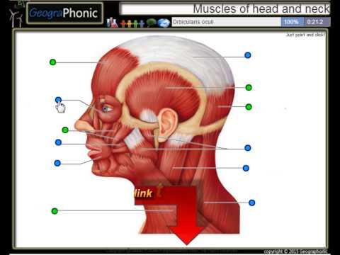 Anatomie Übung, Muskeln des Kopfes und Halses